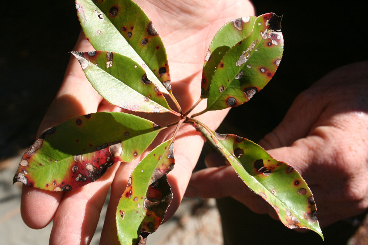 person holding disease leaves