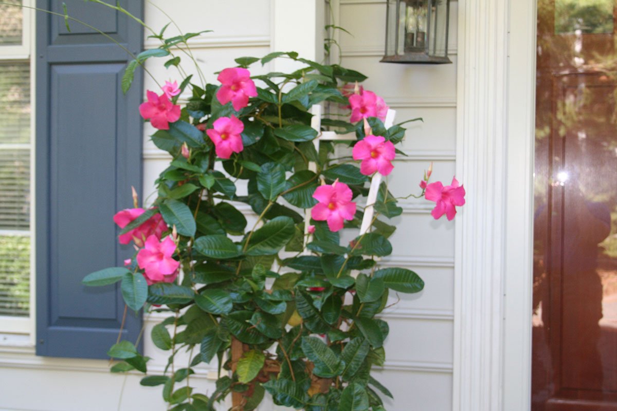 group of pink flowers by doorway