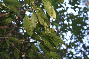 Diseased Leaves Getting Treated