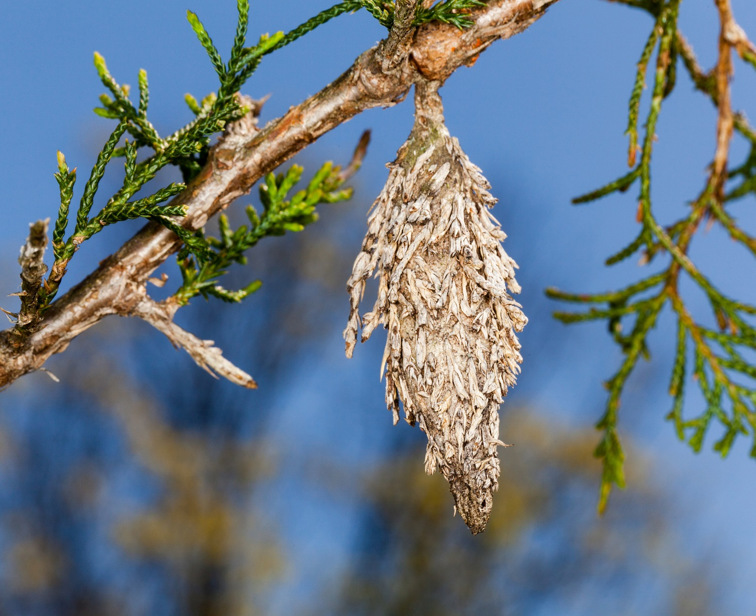 Evergreen Bagworm on tree branch