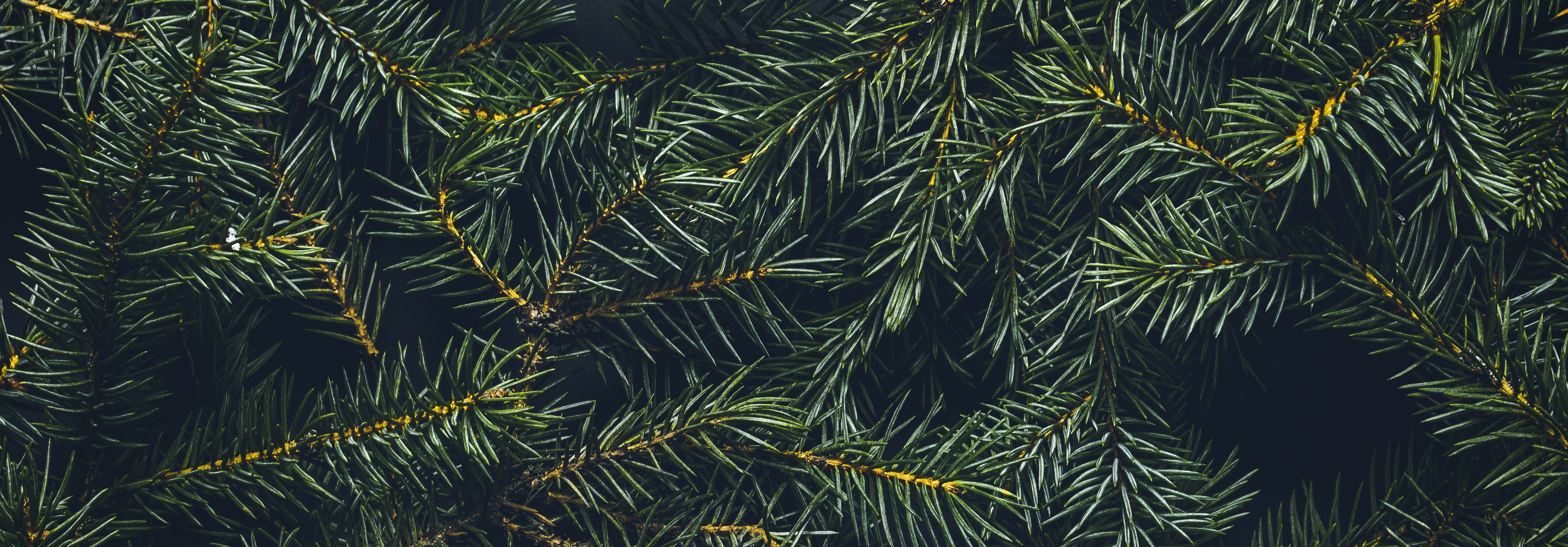 a close up of pine tree needles/branches on tree